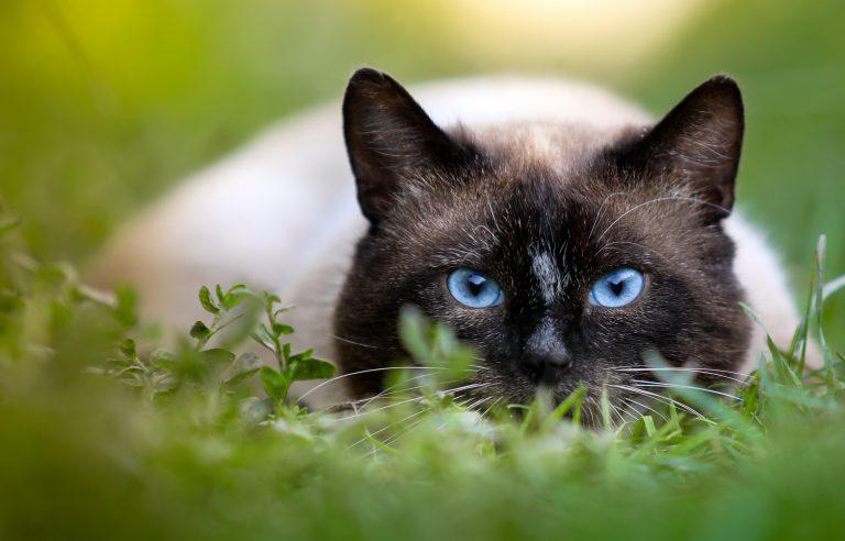 Kat in jachthouding met blauwe ogen