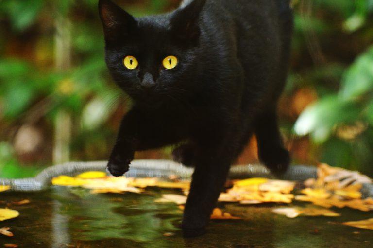 Zwart kat met gele ogen