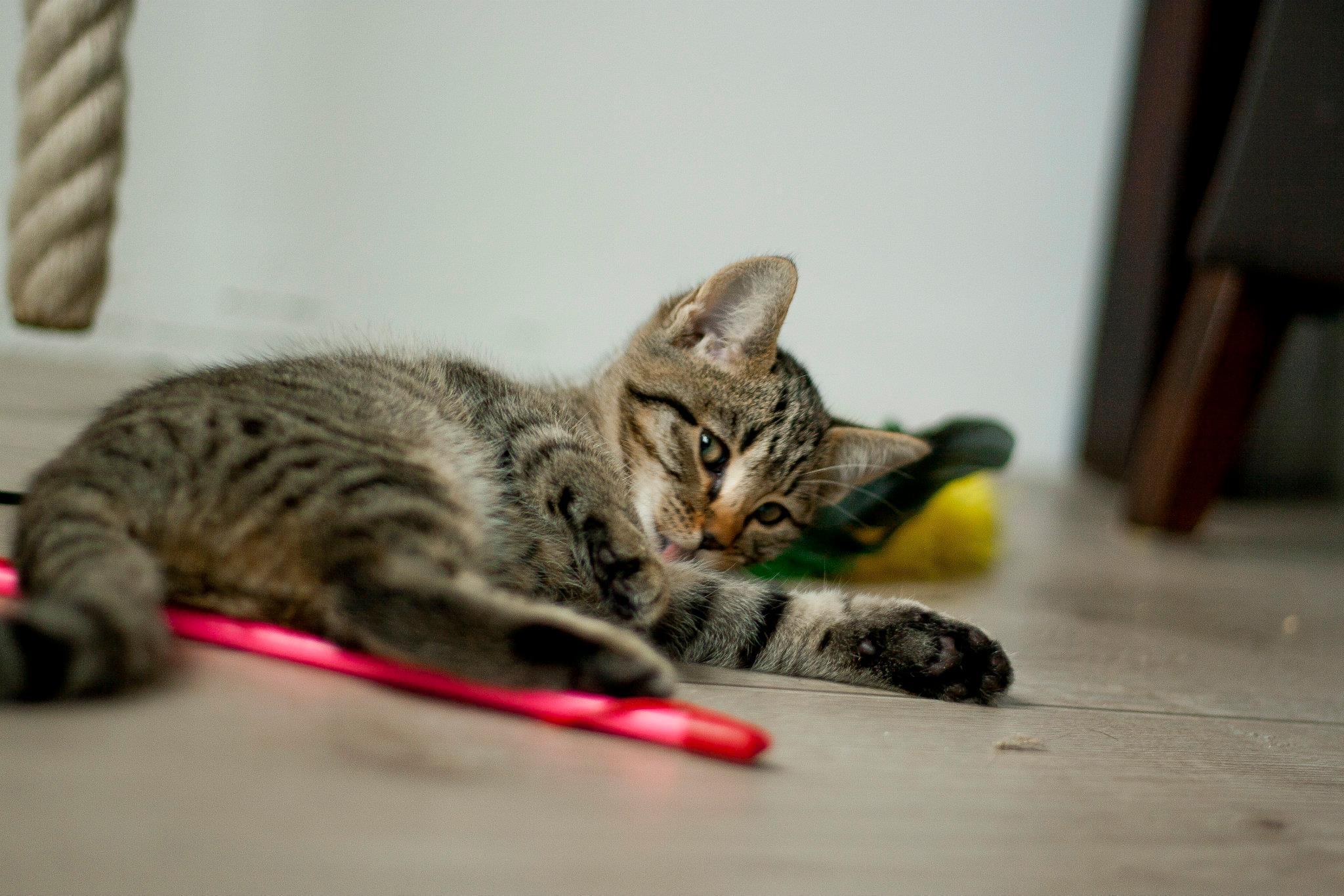 Kitten pepper bijkomen van het spelen
