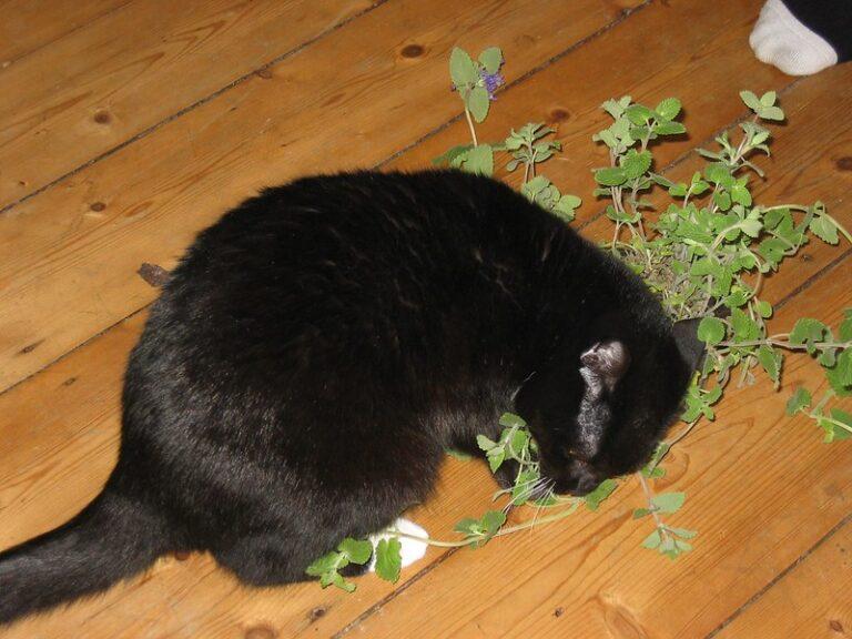 Kat met catnip struik