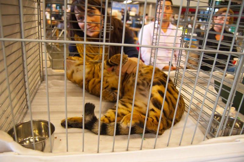 kat in kooi op kattenshow