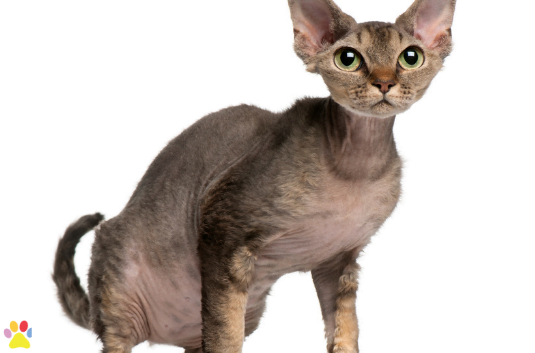 Devon Rex cat, 2 years old, sitting in front of white background