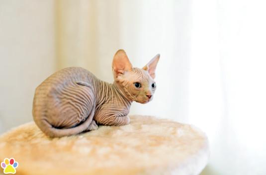 Hairless sphinx cat.